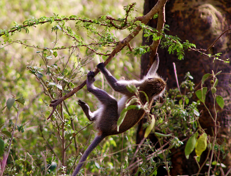 Vervet monkey lake nakuru national park