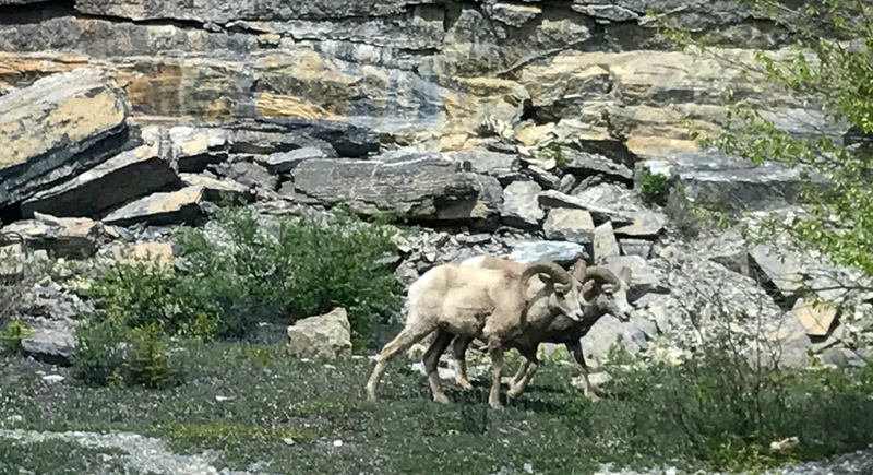Bighorn Sheep Canada Rocky Mountains